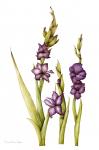 Gladiolus grandiflora