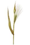 hordeum vulgare vulgare