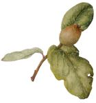 cydonia oblonga (kwee)