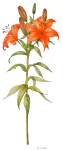 Oranje lelie